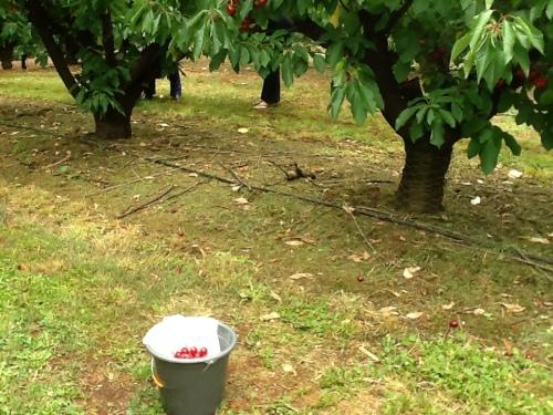 copaci de cires