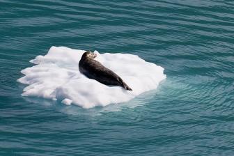 Glacier Bay Harbor Seal