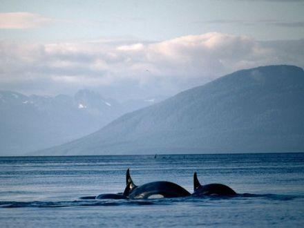 Alaska glacier bay whale