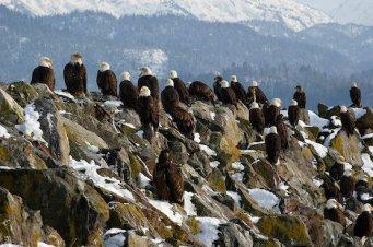 Large gathering of Bald Eagles