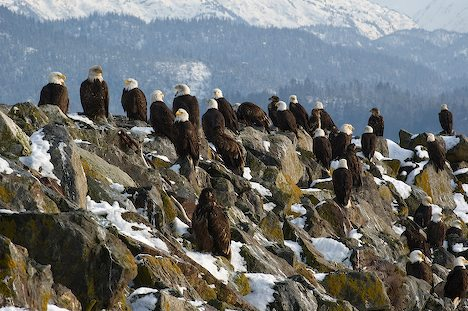 Large gathering of Bald Eagles